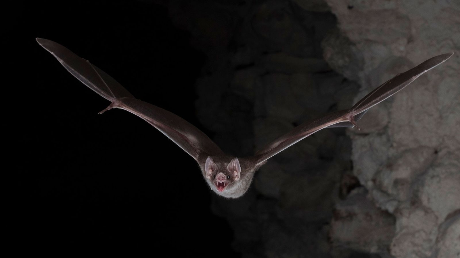 Murciélagos vampiro