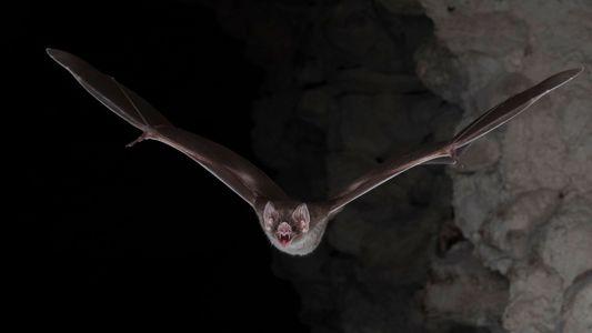 Los murciélagos vampiro se alimentan solo de sangre: ahora sabemos cómo lo hacen