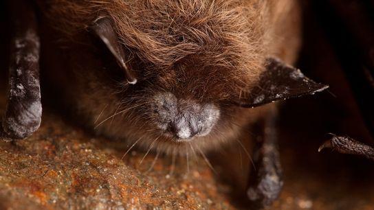 Pequeños murciélagos café