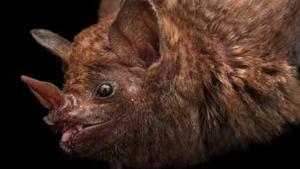 Estos murciélagos son asesinados para que la gente beba su sangre