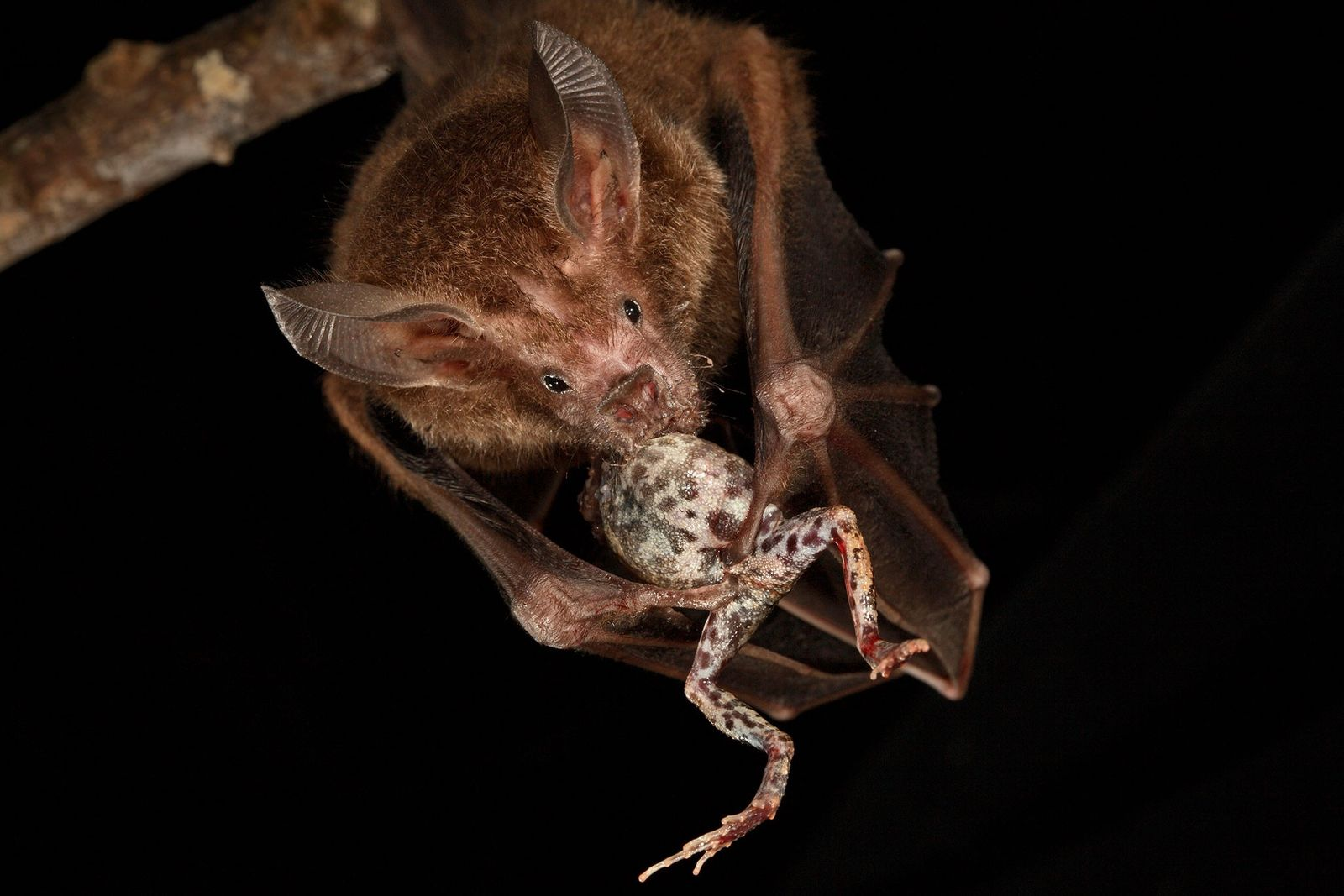Murciélago de labios con flecos