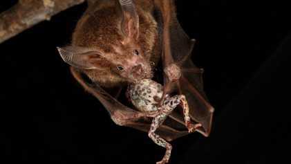 Este murciélago escucha los cantos de las ranas para localizar a su próxima presa