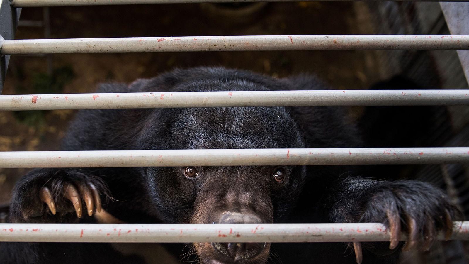 China recomienda la bilis de oso como tratamiento para el coronavirus