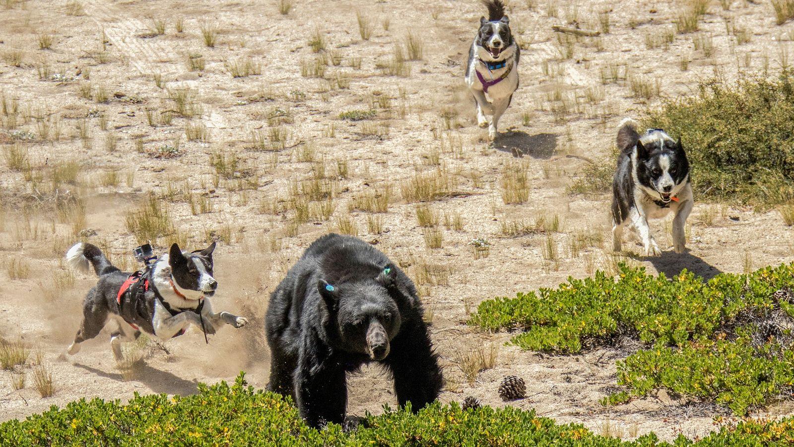 Perros de osos