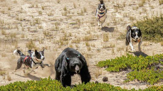 Estos perros ahuyentan a los osos para protegerlos