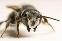 Abeja Megachilidae