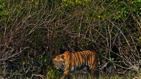 Los piratas que matan tigres de Bengala