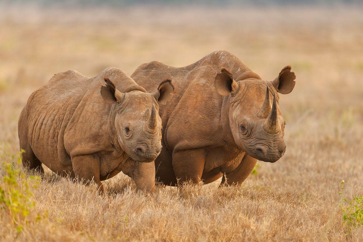 Los rinocerontes negros en la sabana del Área de Conservación de Lewa, en Kenia. Quedan menos …