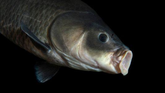Un pez de 112 años bate un récord de longevidad