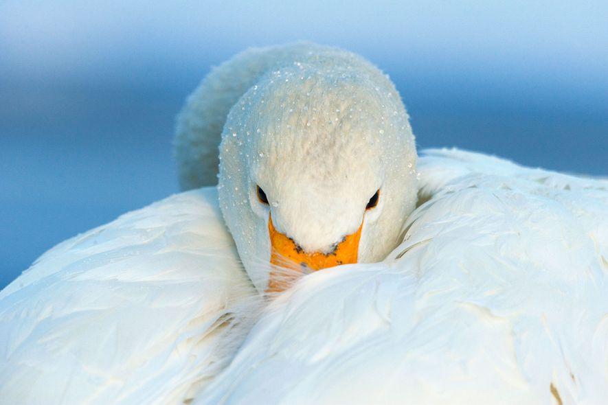 Cisne cantor. Hokkaido, Japón.