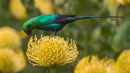 Efecto lujo: por qué las aves prefieren los barrios ricos de Sudáfrica