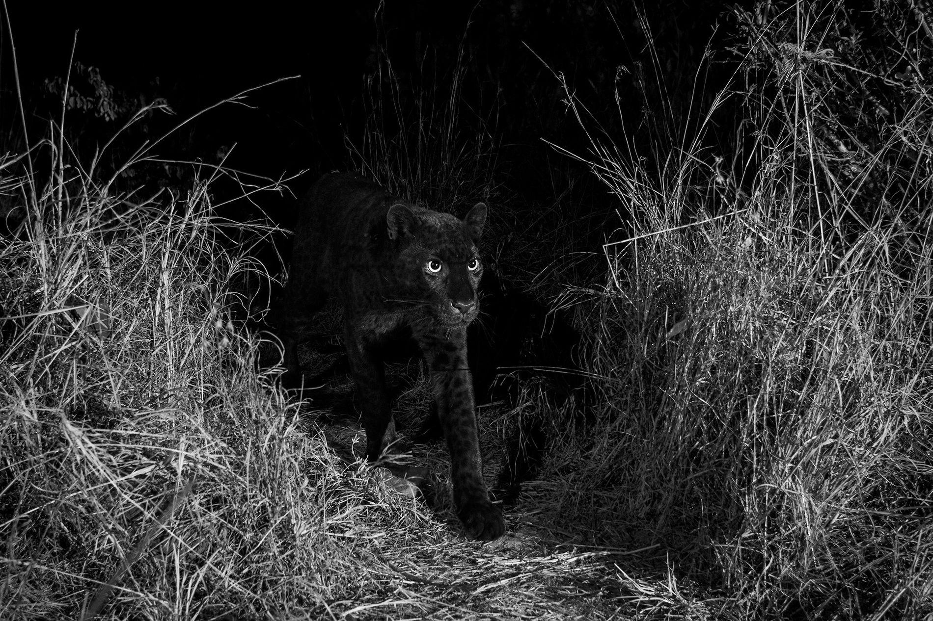 Leopardo negro
