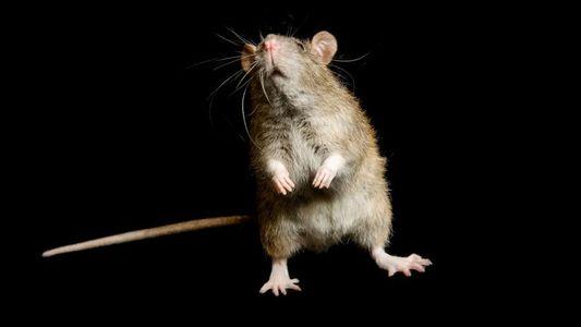 Las ratas podrían no haber sido las culpables de transmitir la peste negra