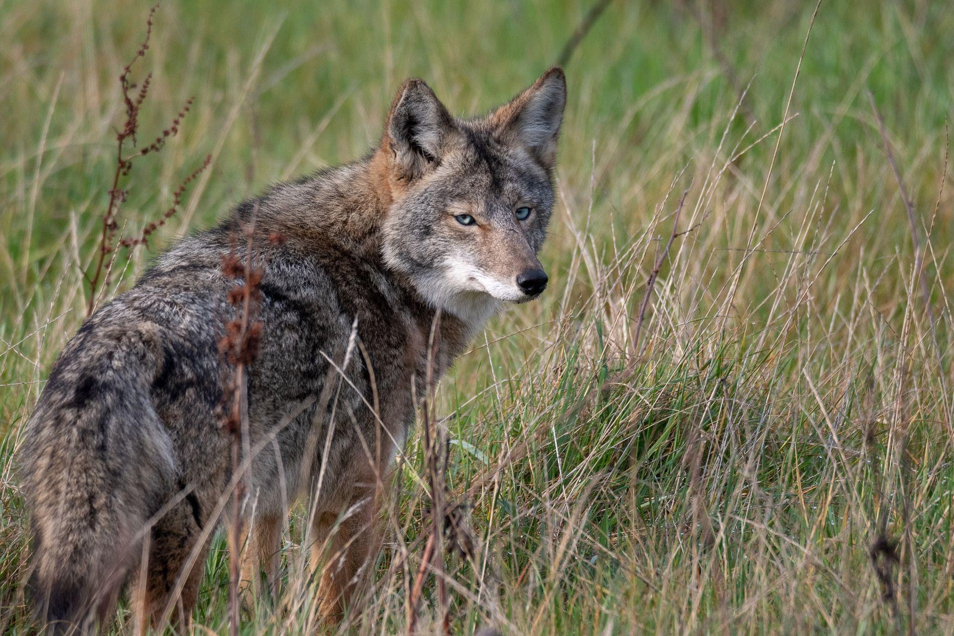 Un raro coyote de ojos azules en el litoral nacional de Punta Reyes, uno de al menos cinco en la zona. Los científicos creen que la mutación de los ojos azules se está extendiendo.