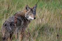 Un coyote de ojos azules