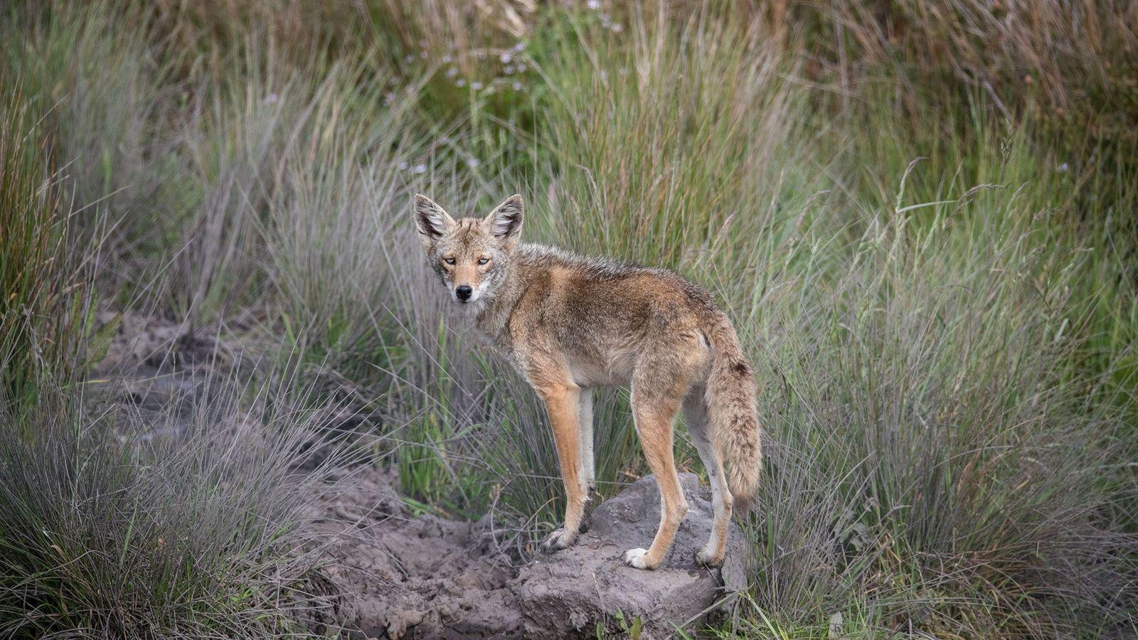 Coyote de ojos azules