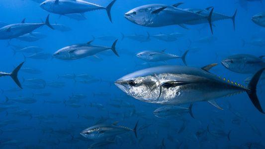 La Guardia Civil y Europol desmantelan a una red de venta de atún ilegal