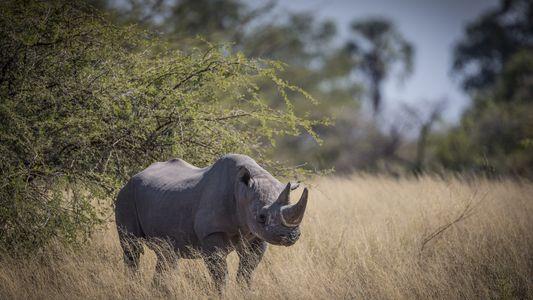 Botsuana evacúa a los rinocerontes negros ante la amenaza de la caza furtiva