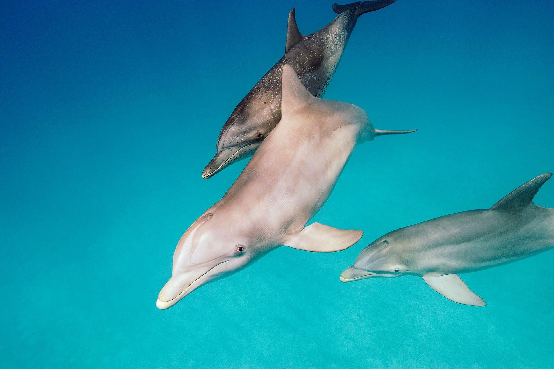 Delfines nariz de botella