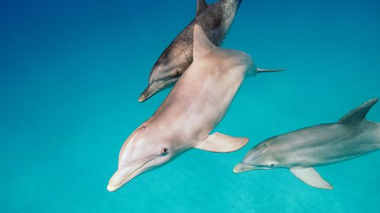 Estos delfines lanzan a los peces fuera del agua para aturdirlos y devorarlos