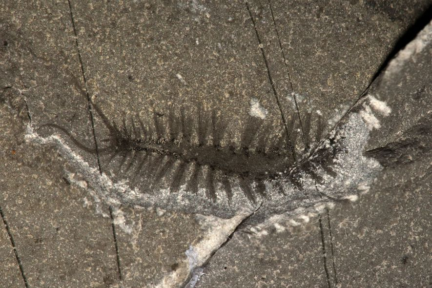El Kootenayscolex barbarensis forma parte de un grupo de animales denominado anélidos (o «gusanos anillados»). Tenía ...