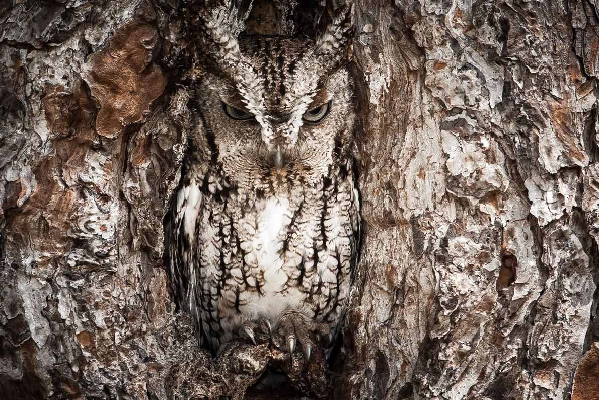 Eastern Screech Owl. Okefenokee Swamp, Georgia