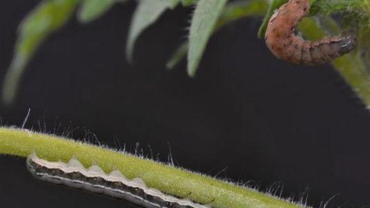 Estas plantas pueden convertir a las orugas en caníbales para evitar ser devoradas