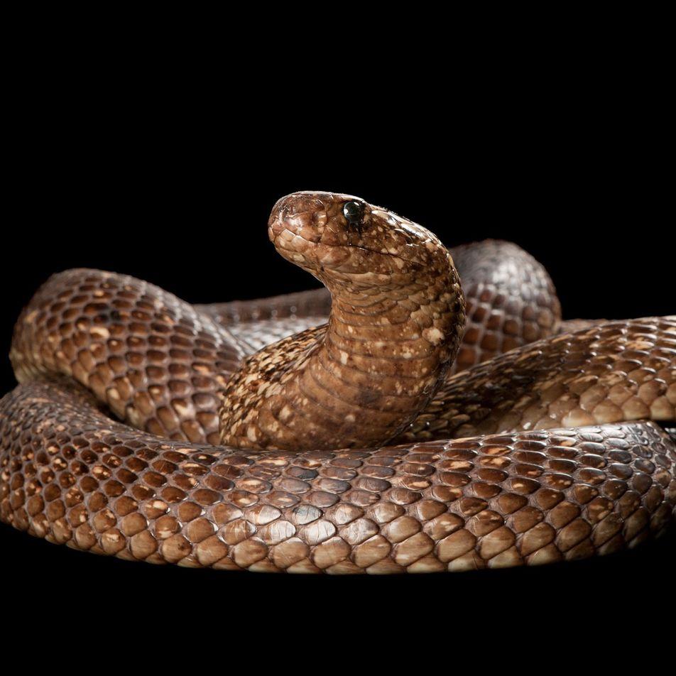 Estas cobras practican canibalismo con una frecuencia sorprendente