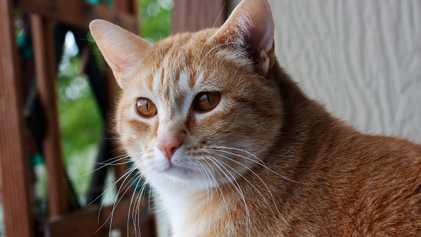 Los gatos reconocen sus nombres, pero les cuesta más que a los perros