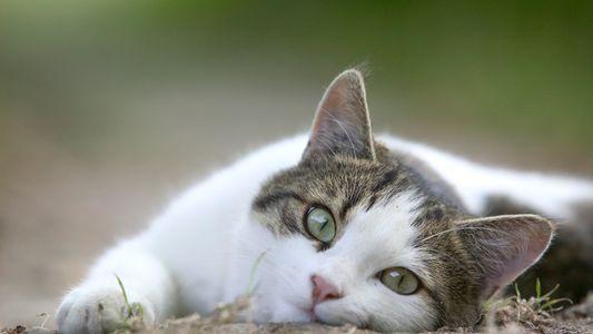 ¿Por qué algunos gatos odian las caricias en la barriga?