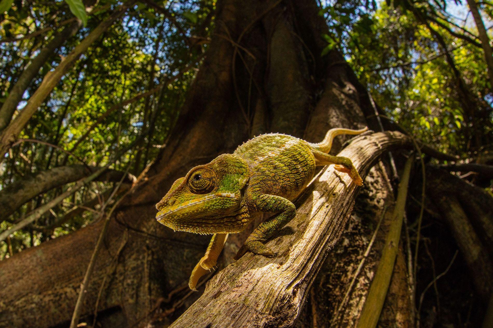 Los camaleones pueden cambiar el color de piel según su entorno. Una nueva piel «inteligente» diseñada para usar los mismos principios que los tejidos de los camaleones puede cambiar de tono en función de la luz.