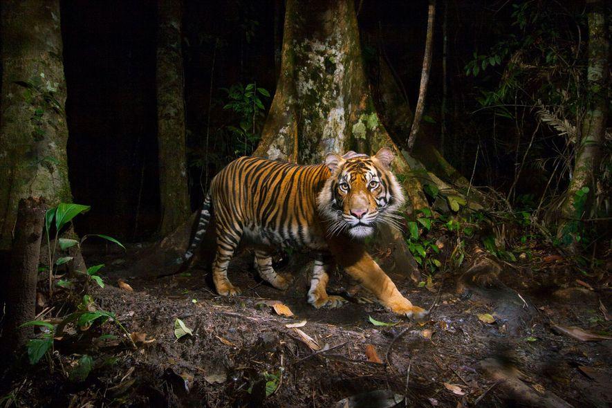 El tigre de Sumatra (Panthera tigris sumatrae) es una especie en peligro crítico de extinción amenazada ...