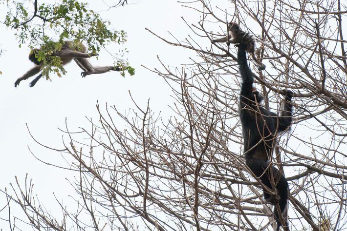 Un chimpancé captura a un colobo