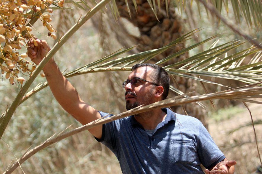 El agricultor iraquí Raed al-Jubayli comprueba los dátiles de su vivero de palmeras en la ciudad ...