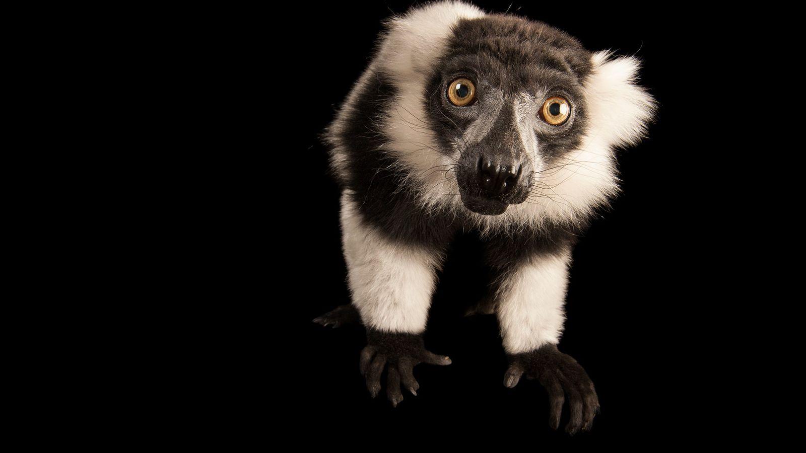 Lémur rufo blanco y negro