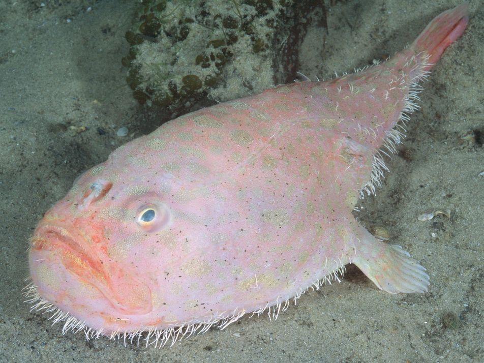 El extraño pez ataúd puede aguantar la respiración durante cuatro minutos