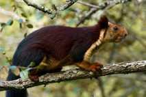 Ardilla malabar o ardilla gigante india