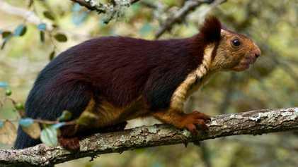 Las ardillas gigantes moradas existen y tienen una conducta extraña