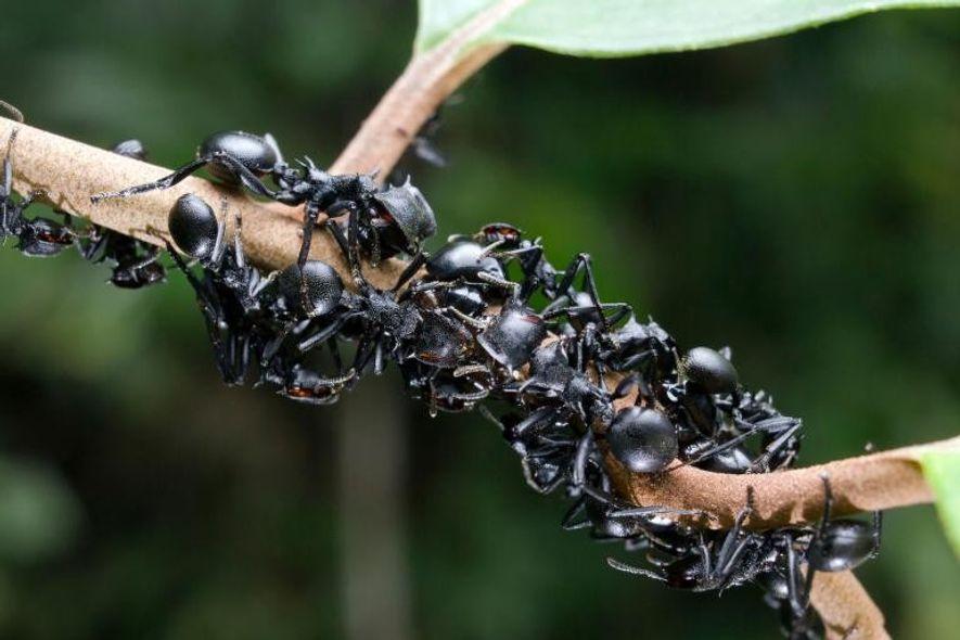 Hormigas tortuga