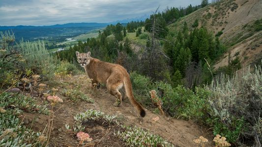 Declaran extinto al puma del este de Norteamérica