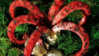 Los «dedos del diablo», el hongo que produce una mucosidad con olor a carne podrida