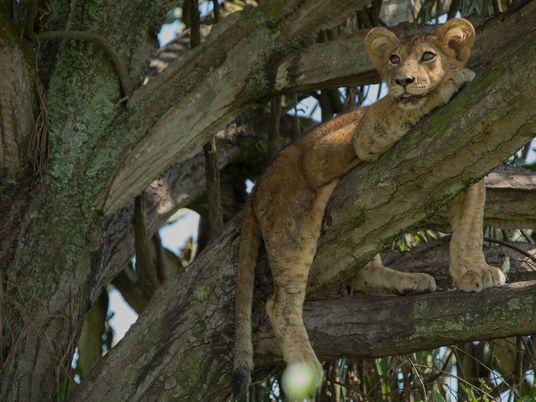 Ocho cachorros de león mueren supuestamente envenandos