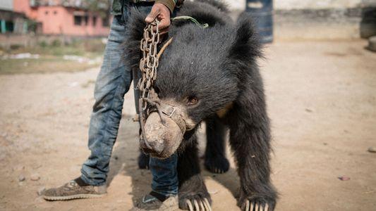 Rescatados los últimos osos bailarines de Nepal