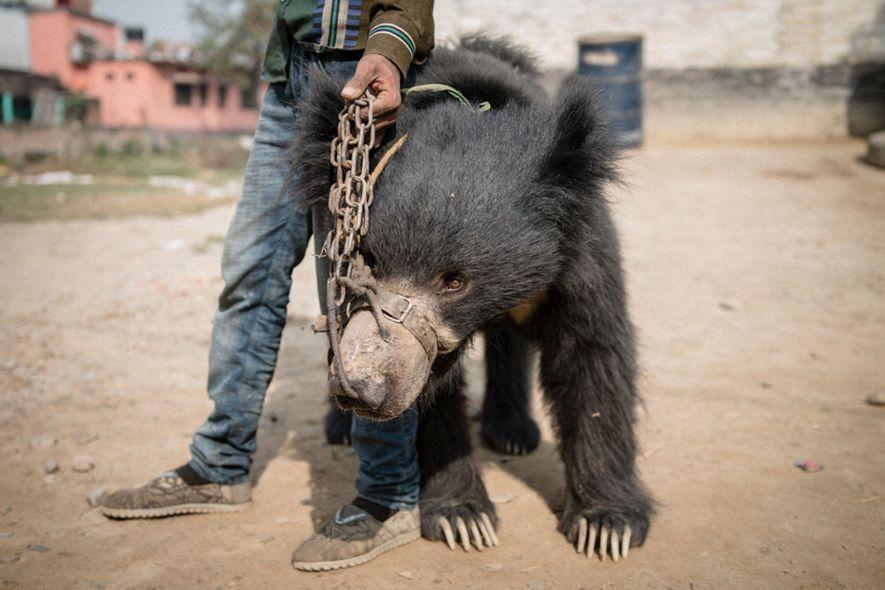Rangeela, uno de los dos osos perezosos rescatados, junto a su dueño, que agarra la cadena ...