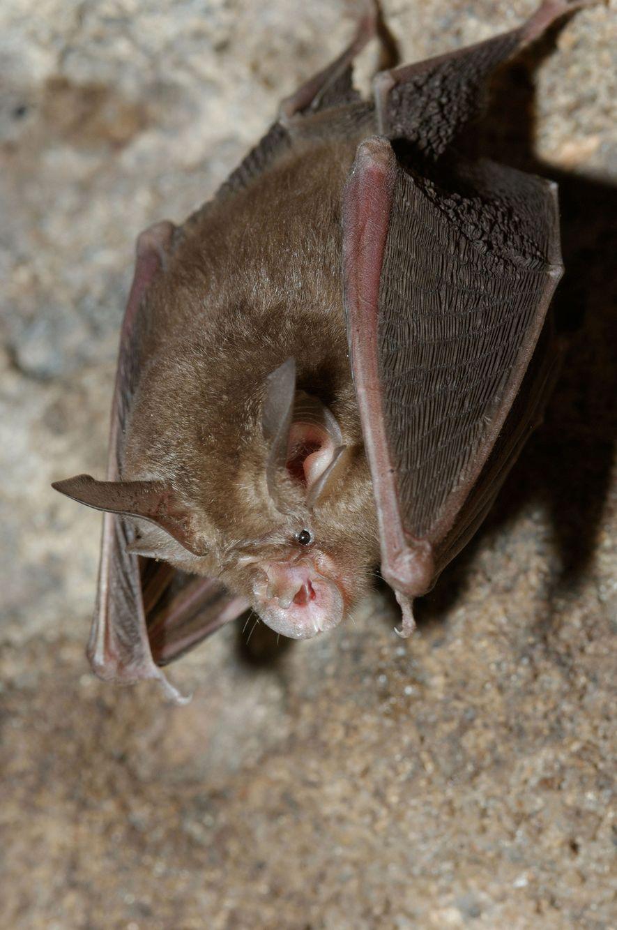 En la mayor parte de su área de distribución, el murciélago Rhinolophus lepidus caza insectos voladores ...