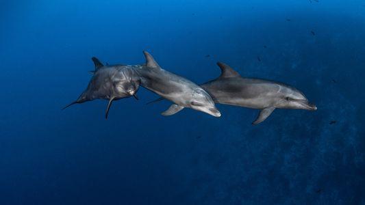 Los delfines aprenden a utilizar herramientas de sus semejantes, igual que los grandes simios