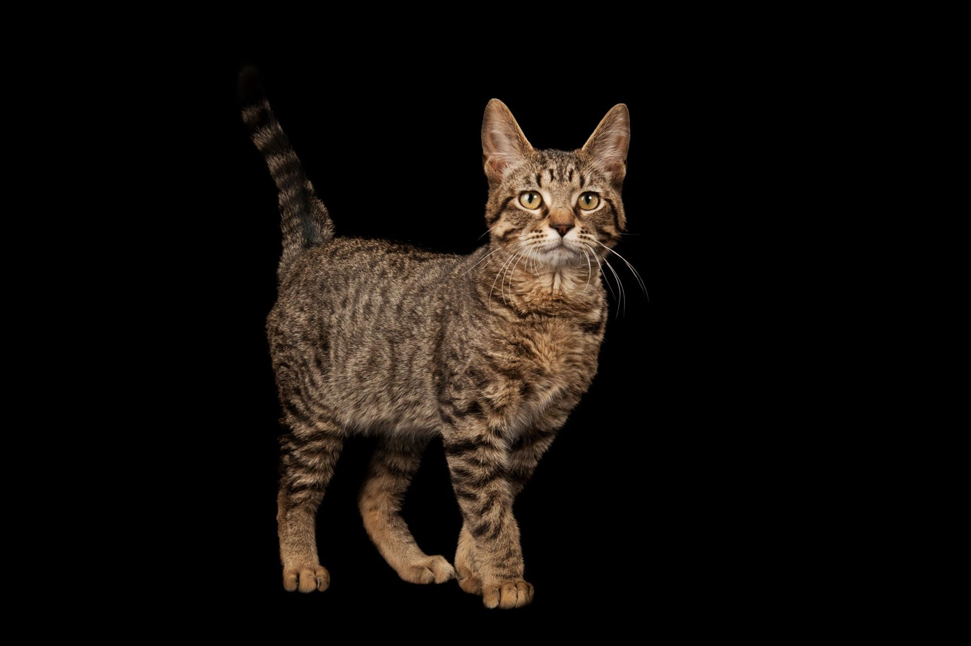 Gato atigrado