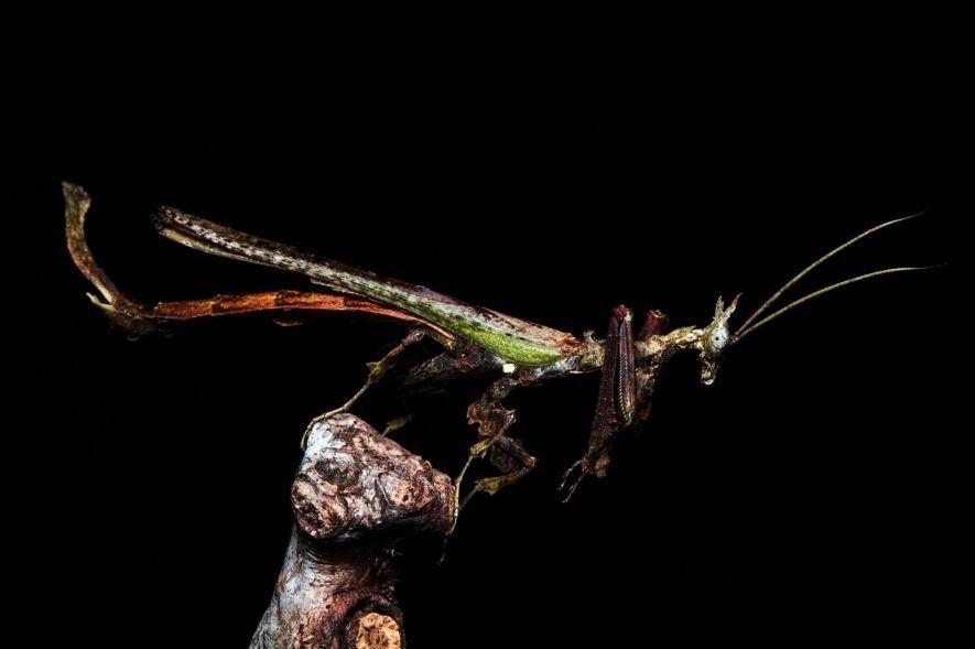 El nombres de la mantis dragón se debe a su parecido a un mítico dragón chino.