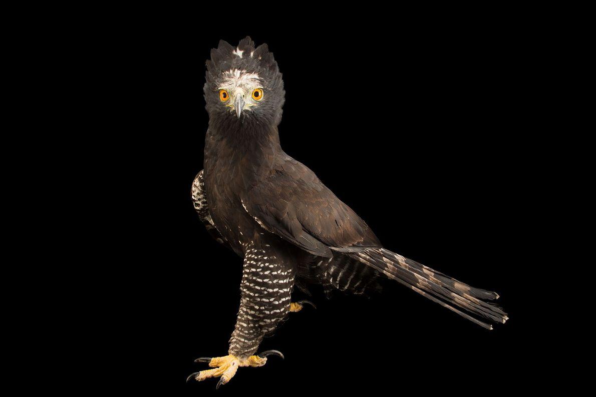 Águila azor negra