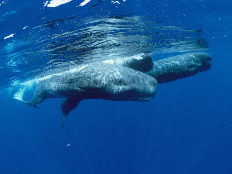 Según un nuevo estudio, los terremotos pueden dificultar que las ballenas encuentren comida